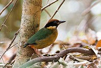 Noisy Pitta Pitta versicolor adult, standing amongst leaf litter, Queensland, Australia