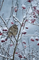 Mistle Thrush Turdus viscivorus adult, feeding on snow covered rowan berries during snowfall, Norfolk, England, december