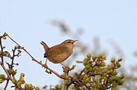 Winter Wren Troglodytes troglodytes adult, singing, perched on twig, Norfolk, England, april