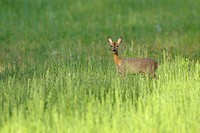 Roe deer in spring, Capreolus capreolus, Hesse, Germany, Europe