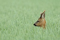Roe buck in grain field, Capreolus capreolus, Hesse, Germany, Europe