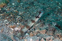 Masked Shrimpgoby Amblyeleotris gymnocephala adult, at burrow entrance, Lembeh Island, Sulawesi, Indonesia