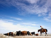 USA, Nebraska, Great Plains, horse rider driving cattle