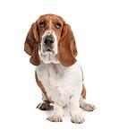 Basset Hound 1 year old_ hush puppy