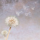 Dandelion Taraxacum officinale seedheads blowing in wind (thumbnail)