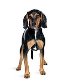 Cross breed with a Beagle, 8 months old, standing in front of white background, studio shot
