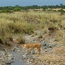 Lioness in stream, Serengeti National Park, Serengeti, Tanzania