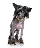 Chinese Crested Dog _ Hairless 16 months
