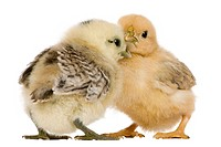 Two chicks standing in front of white background