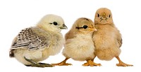 Group of three chicks standing against white background