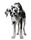 Harlequin Great Dane, 5 years old, standing against white background