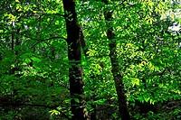 chestnut tree - canton of ticino - switzerland