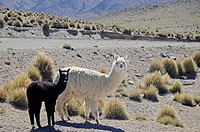 Llamas, Reserva Nacional de las Vicunas, Lauca National park, Lamas, Nationalpark, Norte Grande, northern Chile, Nordchile, Chile, South America, Sued...