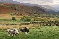 UK Cumbria Castlerigg Hardwick Sheep
