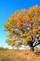 yellow oak on autumn field