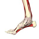 Muscles of the foot and ankle Medial view