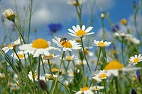 Corn Chamomile Anthemis arvensis With Corn flowers & Poppies