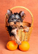 Yorkshire Terrier puppy in a basket