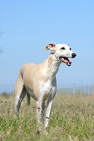 Whippet standing in field