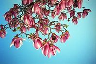 Blossoming tree, Melbourne, Victoria, Australia