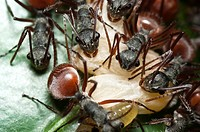 Ants from Skudup, Kuchung, Sarawak, Malaysia