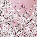 Germany, Hannover, Close_up of apple blossoms