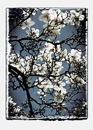 Germany, Stuttgart, Magnolia flowers on tree against sky