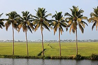 India, South India, Kerala, Alappuzha, View of palm trees and rice field