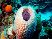 Sponge in the Caribbean sea around Bonaire V11BON0659, Dutch Antilles