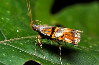 Moth from Skudup, Kuching, Sarawak, Malaysia
