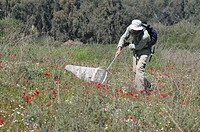 Collecting insects  Entomologist using netting to catch insect specimens in a spring field in Israel