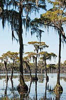 Cypress trees, Banks Lake National Wildlife Refuge, Georgia, USA
