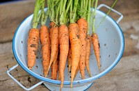 Home grown carrots in blue colander, Norfolk, England, July
