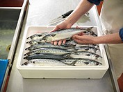 Boxed mackerel fish in plant