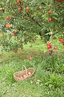 Basket of organic apples by apple tree