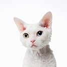 Odd_eyed cat,Devon Rex