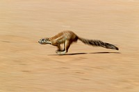 Ground Squirrel Xerus inauris, running, Kgalagadi Transfrontier Park, Kalahari desert, South Africa