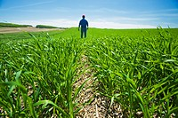 A man scouts an early growth barley field, Tiger Hills, Manitoba