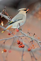 Bohemian Waxwing Bombycilla garrulus Winter migrant feeding on crabapples, Greater Sudbury, Ontario, Canada