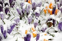 Crocus blooms peeking through spring snowstorm, Greater Sudbury, Ontario, Canada