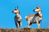 Pronghorn does Antilocapa americana in late Winter, prairie Alberta, Western Canada