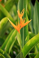 Parrot Heliconia,Orange Parrot,Heliconia Psittacorum,Kota Kinabalu,Sabah,Malaysia,Borneo,Asia,blooming
