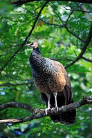 Indian Peafowl,Pavo cristatus,Asia,adult female on tree