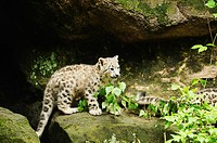 young snow leopard _ standing / Uncia uncia