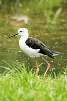 Black_winged Stilt in water / Himantopus himantopus