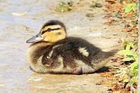 mallard _ duckling / Anas platyrhynchos