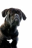 Cane Corso, Dog Breed from Italy, Portrait of Adult against White Background