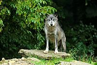 Timber wolf, Canis lupus