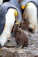 King penguin Aptenodytes patagonicus adult with chick at breeding and nesting colony at Right Whale Bay, South Georgia, Southern Ocean  MORE INFO The ...