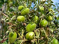 Cicer Arietinum Gram or channa with a plant, is a member of the chick pea family and is not a grain It mills into a fine yellow flour which is a rich,...